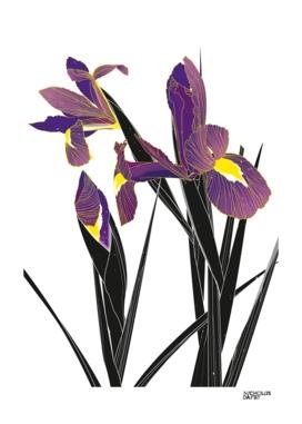 'Iris' - Iris Germanica