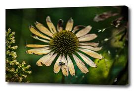 Autumn Cornflower