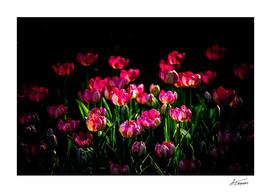Sunray On Pink Tulip Flowers
