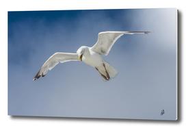 Attack Gull