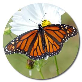 Monarch on Cosmos