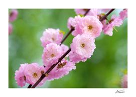 Flowering Plum Flowers