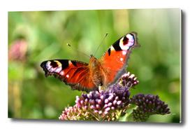 Peacock Butterfl