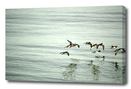 Turnstones in Flight (Arenaria interpres)