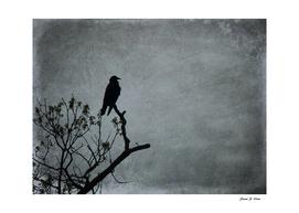 Majestic Crow