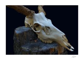 Deer Skull In-Situ 1