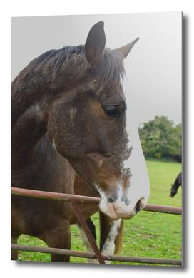 Horse portrait with blaze
