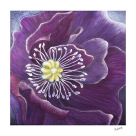 Purple Poppy in the Wind_Craftiespot