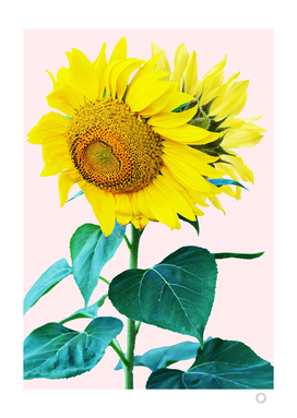 Sunflowers single