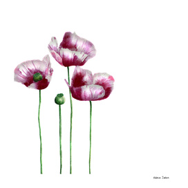 Poppies || watercolor