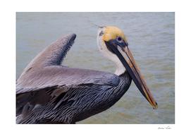 Pelican Close-Up