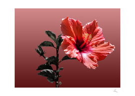 red hibiscus on vinous