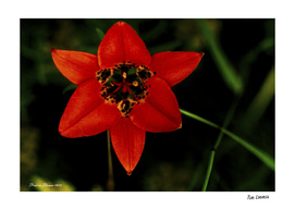 Prairie Red Flower