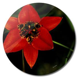 Prairie Red Flower