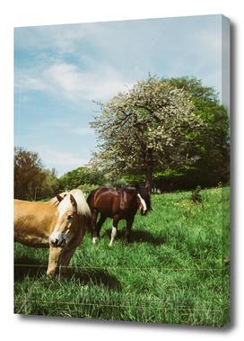 Ponies In The Pasture