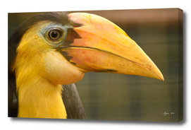 Hornbill - Identify this please!