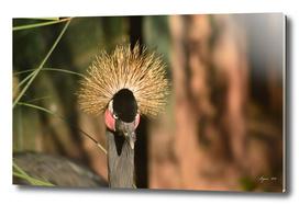 Black Crowned Crane - Balearica pavonina