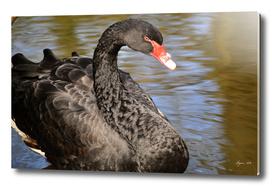 Black Swan - Cygnus atratus