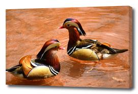 Mandarin Ducks - Aix galericulata
