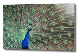 Peacock Fan Tail - Pavo cristatus
