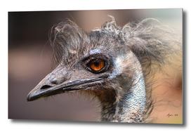 Bad Hair Day! Emu ruffled! - Dromaius novaehollandiae