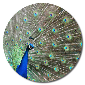 Peacock Fan Tail - Pavo cristatus