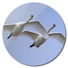 Swans in Flight - Cygnus olor, Mute Swans