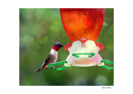 A Ruby Throated Hummingbird