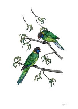 Ringneck Parrots