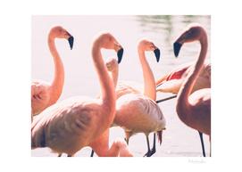 Pink Flamingo Flock