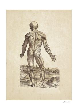 Renaissance anatomic pannel 234