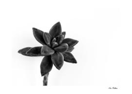 succulents flowers