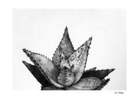 succulents cactus aloe