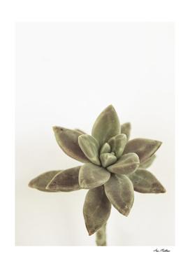 succulents flower