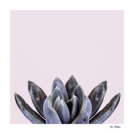 succulent flower blue