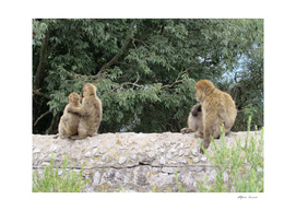 family of monkeys