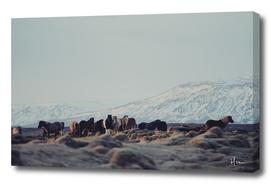 Icelandic Horses II