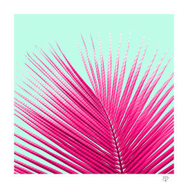 Pink Candy Cane Palm