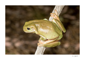 Green Tree Frog (litoria careula)
