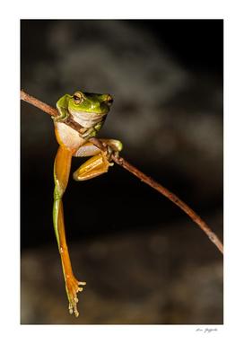 Leaf Green Stream Frog 165 4102