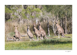 Eastern Grey Kangaroo's 165 4700