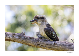 Kookaburra 167 0200