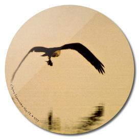 Osprey - Lignumvitae Key