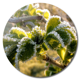 Frosty Leaves