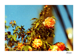 Orange Rose on 35mm film