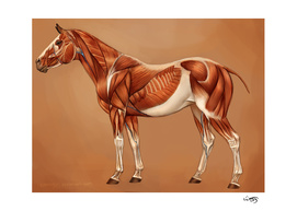 Horse Muscles Reference