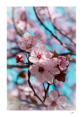 Sakura.Cherry Blossom
