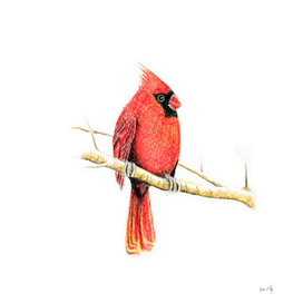 Bird: Cardinal