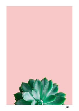 Rose Succulent