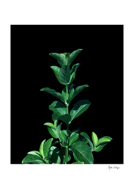 Leaves Viburnum